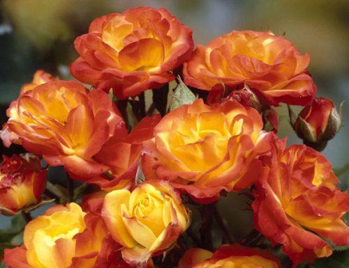 Rosa di Maggio: storia e coltivazione delle rose