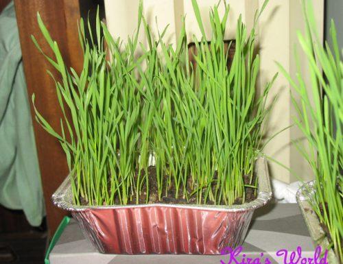 Come coltivare il grano per l'altare della reposizione