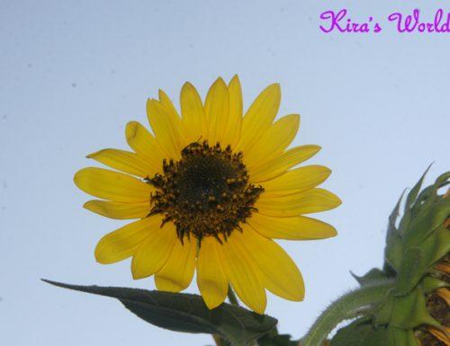 Il girasole: leggenda, significato e curiosità sul fiore