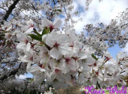 La fioritura dei ciliegi all'orto botanico di Roma