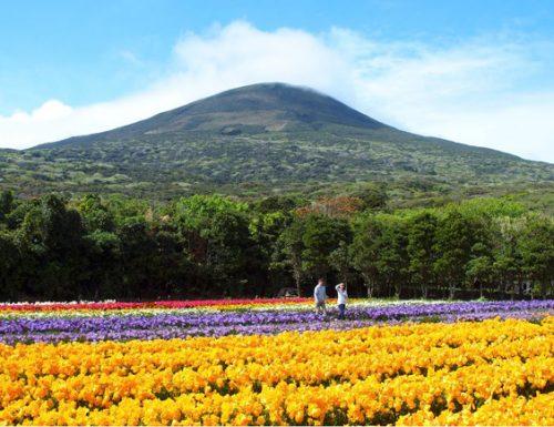 Freesia Festival, un trionfo di colori nell'isola di Hachijojima